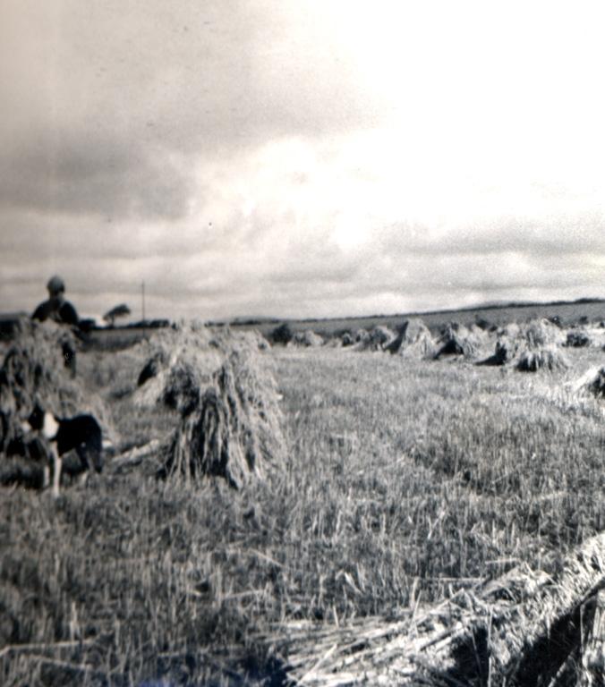 Harvesting Oats