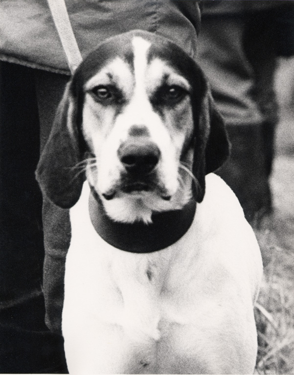 Hound Dog Close Up