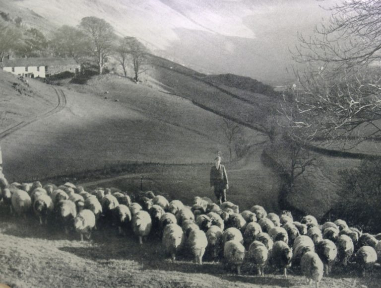 Sheep Flock W Fells